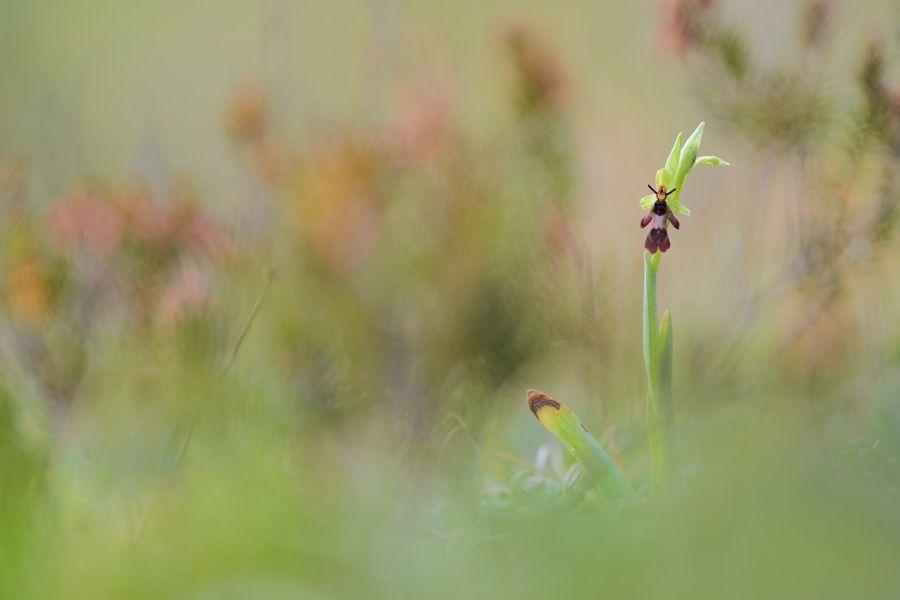 Fliegenragwurz (Ophrys insectifera)
