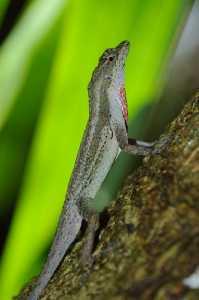 BICA-Anolis - Norops bicaorum_4