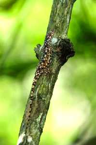 Norops utilensis
