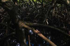 Norops utilensis im Lebensraum