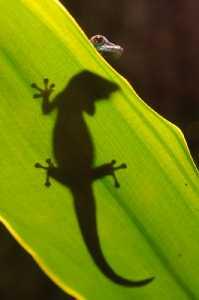 Blauer Haftschwanzzwerggecko (Lygodactylus williamsi)