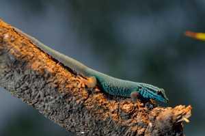Geckos & Verwandte