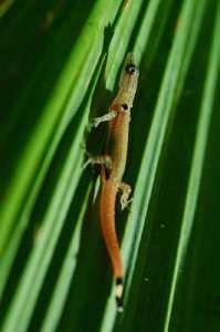 Sphaerodactylus millepunctatus