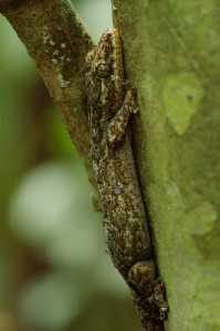 Thecadactylus rapicauda