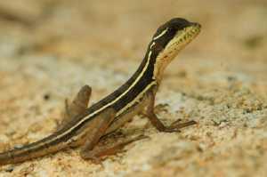 Streifenbasilisk (Basiliscus vittatus)