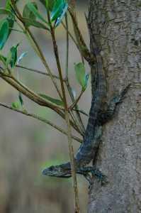 Utila-Leguan - Ctenosaura bakeri_1