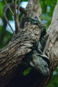 Utila-Leguan - Ctenosaura bakeri_2