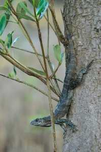 Weiblicher Utila-Leguan