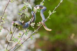 Äskulapnatter [Zamenis longissimus)