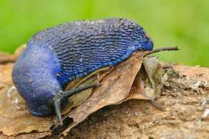 Blaue Nacktschnecke (Bielzia smaragdina)