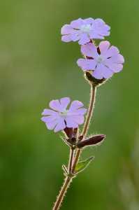 Lichtnelke (Melandrium silvestre)