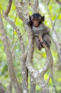 Javaneraffe (Macaca fascicularis)