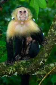 Kapuzineraffe (Cebus capucinus)