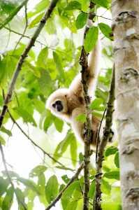 Weißhandgibbon (Hylobates lar)