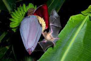 Langzungenfledermaus (Glossophaga soricina)