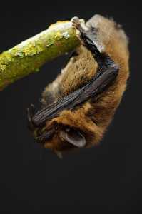 Zwergfledermaus (Pipistrellus pipistrellus)