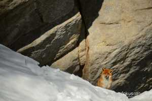 Rotfuchs im Winter
