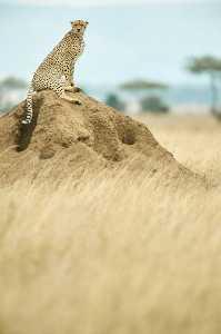 Großkatzen