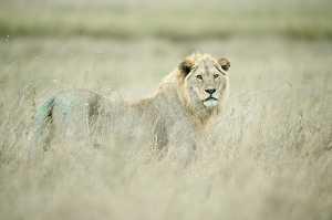 Löwe in der Savanne