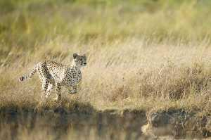 Rennender Gepard