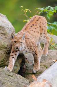 Europäischer Luchs (Lynx lynx)