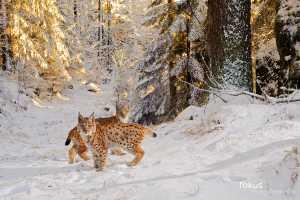 Jungluchse im Winter