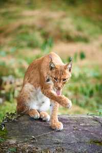 Katzenwäsche beim Luchs