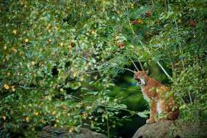 Gähnender Luchs (Lynx lynx)