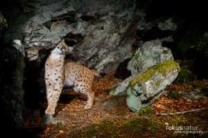 Luchs (Lynx lynx) an der Markierstelle
