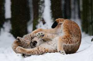 Spielende Luchse im Schnee