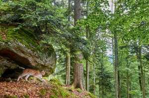 Wilder Luchs (Lynx lynx)