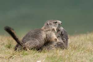 Spielende Murmeltiere (Marmota marmota)