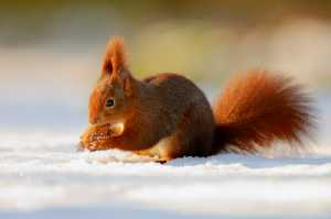 Rotes Eichhörnchen mit Walnuss