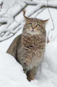 Wildkatze im Winter
