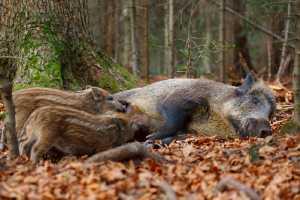 Säugendes Wildschwein