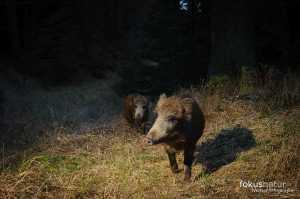 Wildschwein auf der Kamerfalle
