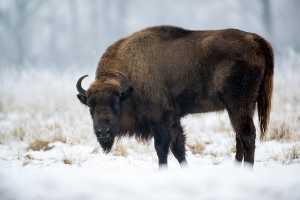 Wisent (Bison bonasus)