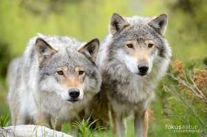 Europäischer Wolf (Canis lupus europaeus)