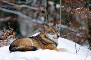 Wölfe im Schneetreiben