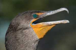Ohrenscharbe (Phalacrocorax auritus)