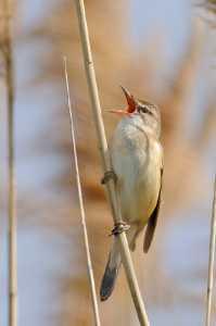 Drosselrohrsänger (Acrocephalus arundinaceus)