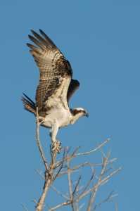 Fischadler (Pandion heliaetus)