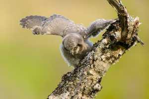 Junge Sperbereule (Surnia ulula)