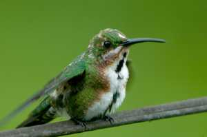 Grünbrustmangokolibri (Anthracothorax prevostii)