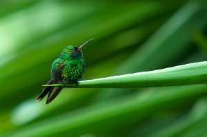 Gabelschwanzkolibri (Chlorostilbon canivetii)