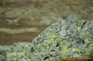 Alpenschneehuhn (Lagopus mutus)