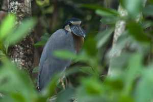 Kahnschnabel (Cochlearius cochlearius)