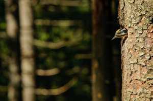 Dreizehenspecht (Picoides tridactylus)